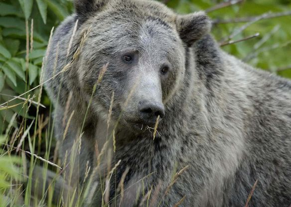 800px-Grizzly_Bear_Yellowstone