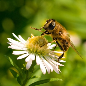 Honey bee photo
